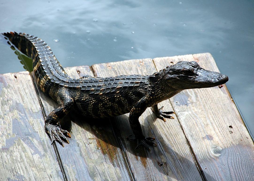 alligator-1657424_1280