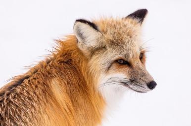red-fox-2230731_1280